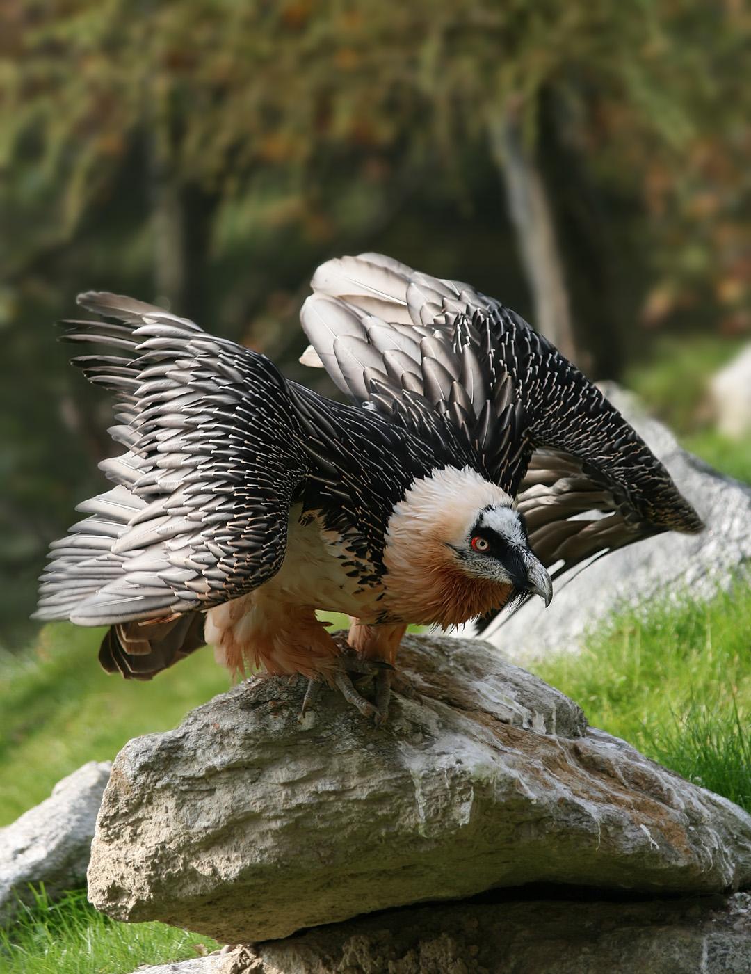 Gypaetus barbatus,  un avvoltoio europeo