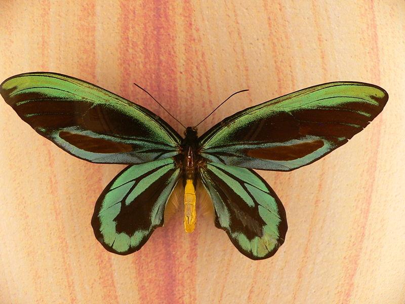 La più grande farfalla del mondo