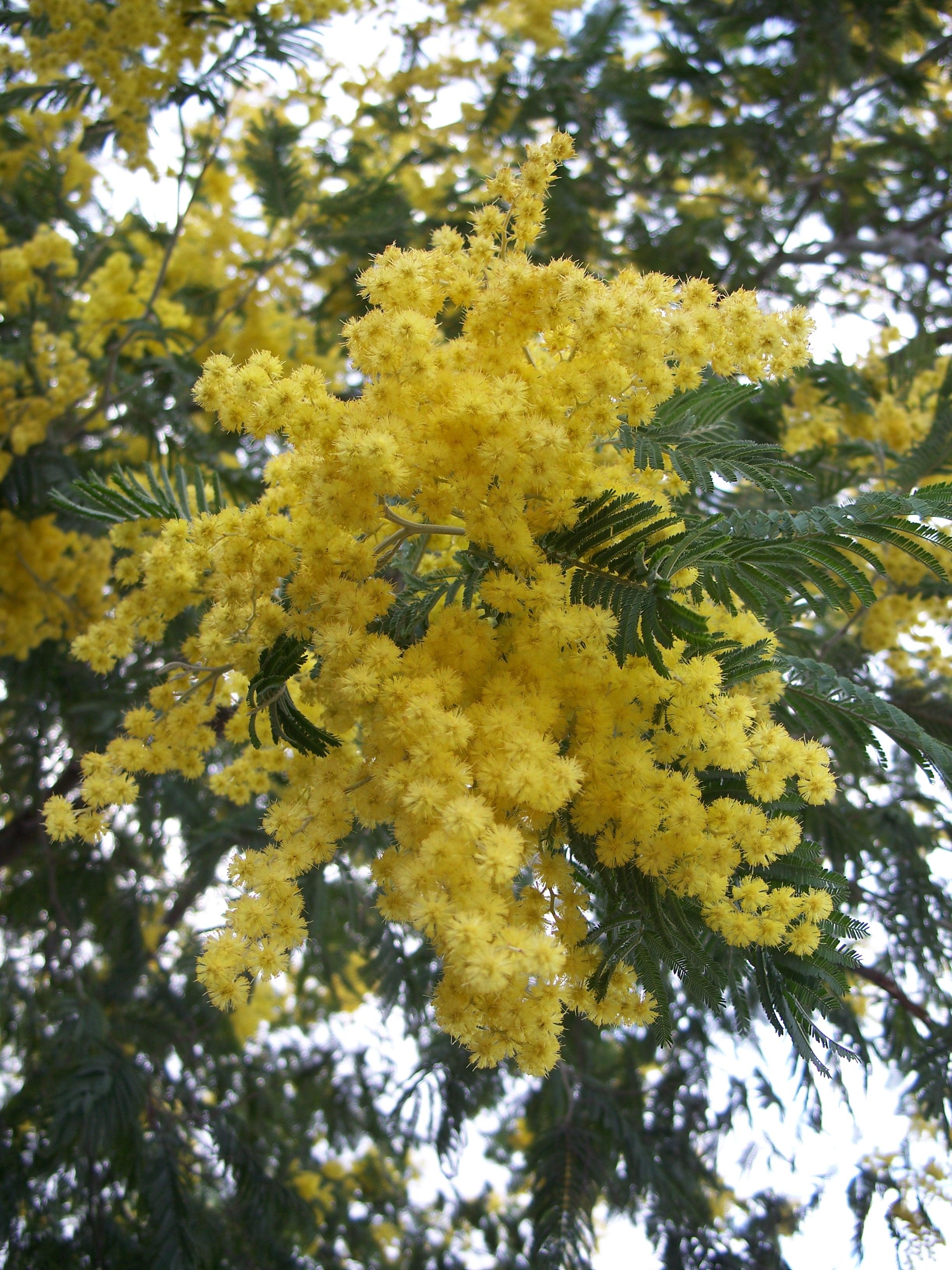 Acacia dealbata, la mimosa