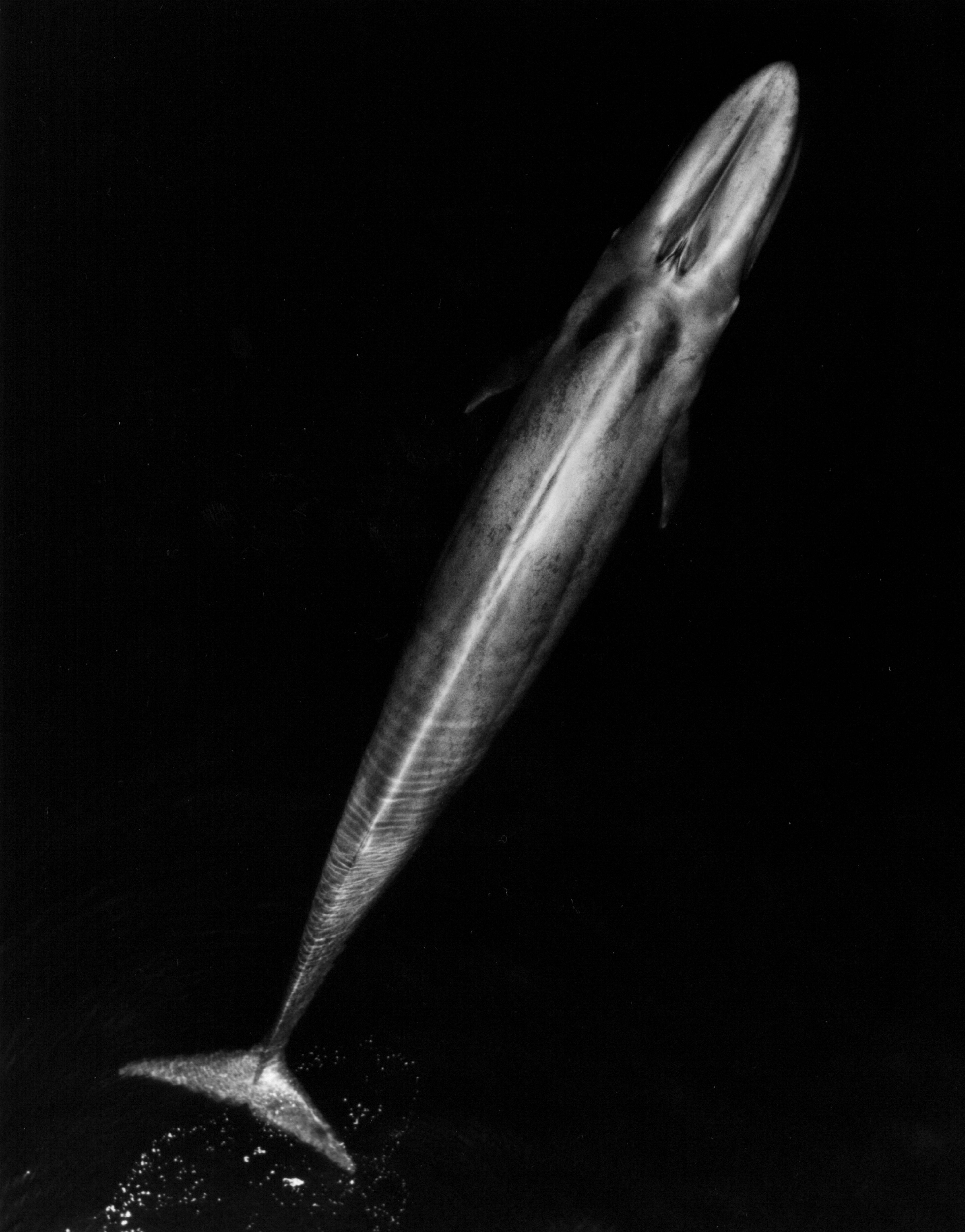 Blue_Whale_001_body_bw
