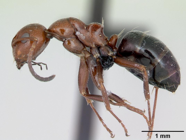 Colonia di Camponotus lateralis: aggiornamento