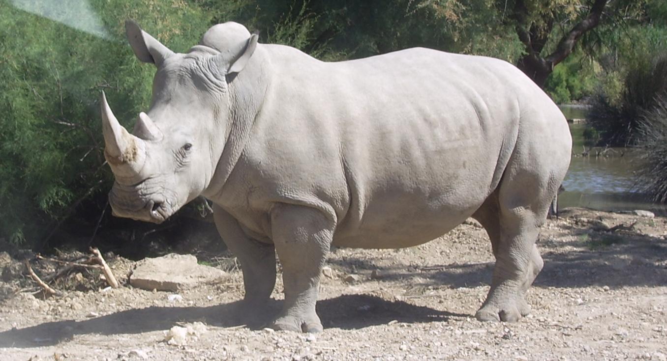 Una bufala sta provocando l'estinzione dei rinoceronti