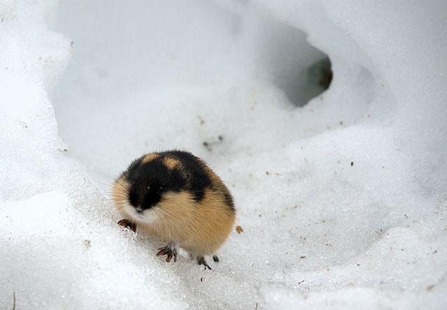 L'inaspettata ferocia del lemming